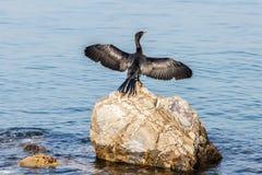 zwarte zwaan op de rots in oceaan royalty-vrije stock fotografie