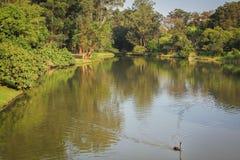 Zwarte zwaan op een meer stock afbeelding