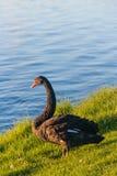 Zwarte zwaan op rivierbank royalty-vrije stock afbeeldingen