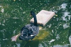 Zwarte zwaan op vijver in Mysore, India stock foto