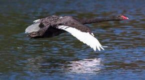Zwarte zwaan tijdens de vlucht bij de Westelijke Lentes, Auckland Royalty-vrije Stock Foto