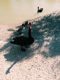 Zwarte zwaan, vrij kleine prachtige reizen, royalty-vrije stock afbeeldingen