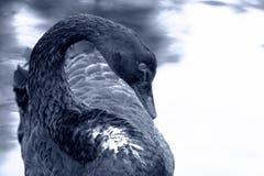 Zwarte zwaan Zeldzame mooie vogel Stock Foto's