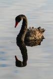 Zwarte zwaanbezinning Royalty-vrije Stock Afbeeldingen