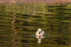 Zwarte zwaanjonge zwaan die op meer zwemmen royalty-vrije stock foto
