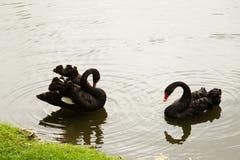 Zwarte zwanen Royalty-vrije Stock Afbeeldingen