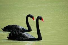 Zwarte zwanen Royalty-vrije Stock Foto's