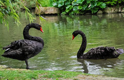Zwarte zwanen Royalty-vrije Stock Afbeelding
