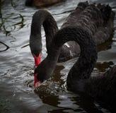 2 zwarte zwanen die in donker water voeden Royalty-vrije Stock Afbeelding