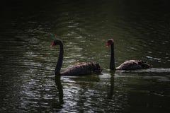 Zwarte zwanen, donker water royalty-vrije stock afbeeldingen