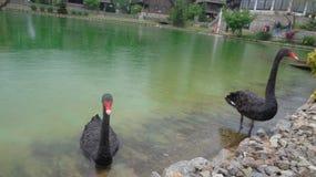 Zwarte zwanen in het meer royalty-vrije stock afbeeldingen