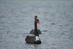 Zwarte zwanen in het overzees/oceaan, geëtiketteerde zwarte zwaan Stock Foto's