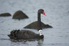 Zwarte zwanen in het overzees/oceaan, geëtiketteerde zwarte zwaan Royalty-vrije Stock Foto's