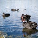 Zwarte Zwanen in meer stock foto