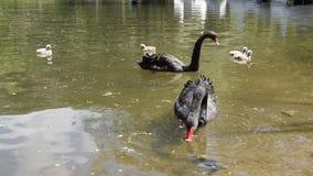 Zwarte zwanen met hun kuikens stock videobeelden