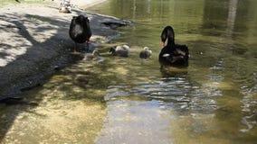 Zwarte zwanen met hun kuikens stock video