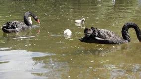 Zwarte zwanen met hun kuikens stock footage