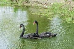 Zwarte zwanen in Thailand Royalty-vrije Stock Afbeelding