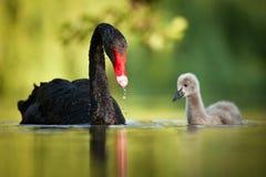 Zwarte zwanenfamilie stock afbeelding