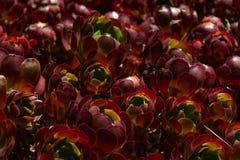 Zwartkop或`杰克卡特林`品种植物的永世的惊人的领域 免版税库存图片