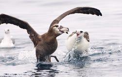 Zwartvoetalbatros, Black-footed Albatross, Diomedea nigripes. Zwartvoetalbatros vechtend met Laysanalbatros; Black-footed Albatross fighting with Laysan stock photo