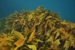 Zwarty pole brown kelp Obrazy Stock