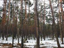 Zwarty sosnowy las w wiośnie Obraz Stock