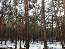 Zwarty sosnowy las w wiośnie Zdjęcia Royalty Free