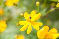 Zwavelkosmos, Gele Kosmos, Gele bloem Stock Foto