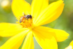 Zwavelkosmos, Gele Kosmos, Gele bloem Royalty-vrije Stock Afbeeldingen