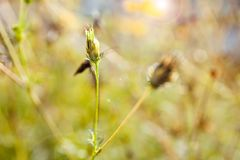 Zwavelkosmos, Gele Kosmos, Gele bloem Stock Foto's