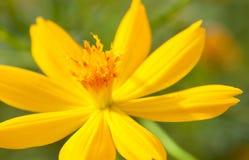 Zwavelkosmos, Gele Kosmos, Gele Ster of Gele Bloem Royalty-vrije Stock Foto's
