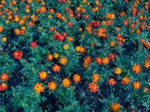 Zwavelkosmos of Oranje Kosmos Royalty-vrije Stock Foto's