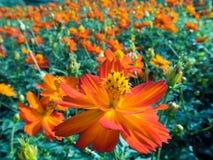 Zwavelkosmos of Oranje Kosmos Stock Fotografie