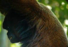 Zwełniona małpa z bardzo wyróżniającym wyrażeniem na jego twarzy obraz royalty free