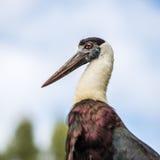 Zwełniony necked bocian w dzikim fotografia royalty free