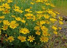 Zwełniony słonecznik w naturalnym położeniu Fotografia Royalty Free
