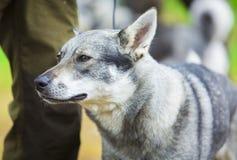 Zweedse Elkhound Stock Afbeelding