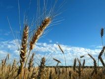 Zwei Ährchen auf dem Hintergrund des Feldes und des blauen Himmels Lizenzfreies Stockfoto