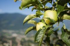 Zwei Äpfel auf Baum Stockfotos