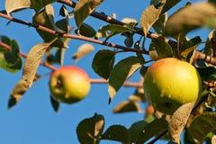 Zwei Äpfel auf dem Zweig eines Apfelbaums lizenzfreie stockfotografie