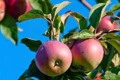 Zwei Äpfel auf einem Zweig mit Dewdrops lizenzfreies stockfoto