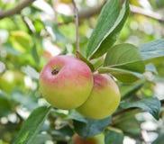 Zwei Äpfel auf einer Applebaumniederlassung Stockbild