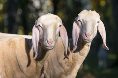 Zwei überraschte Schafe mit den langen Ohren Stockbilder