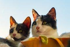 Zwei aalende Hauskatzen Lizenzfreies Stockfoto