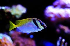 Zwei abgehaltenes Kaninchenfische Siganus-virgatus lizenzfreie stockfotos