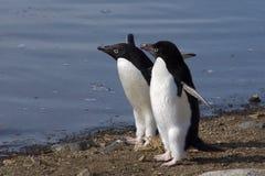 Zwei Adelie-Pinguin-Freunde Stockbild