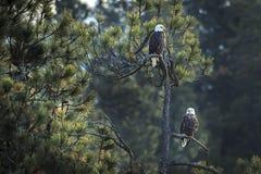 Zwei Adler in einem Baum Lizenzfreies Stockbild