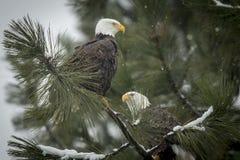Zwei Adler an einem schneebedeckten Tag Stockbilder