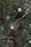 Zwei Adler gehockt Stockfoto